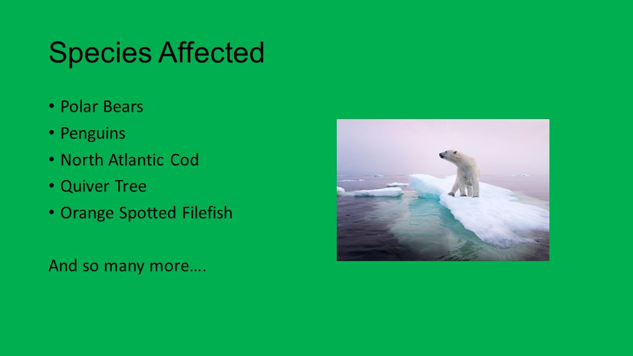 Species Affected Polar Bears Penguins North Atlantic Cod Quiver Tree Orange Spotted Filefish And so many more….