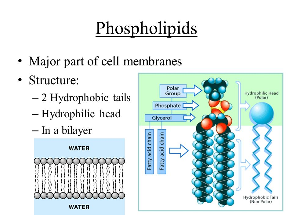 Phospholipids Major part of cell membranes Structure: – 2 Hydrophobic tails – Hydrophilic head – In a bilayer