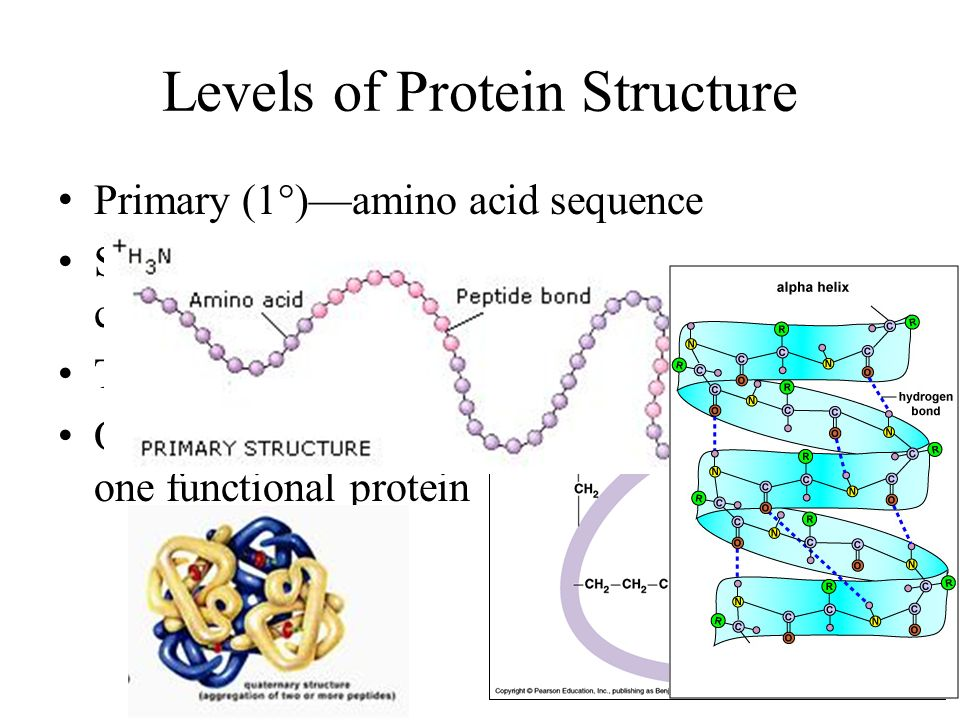 Levels of Protein Structure Primary (1°)—amino acid sequence Secondary (2°)—folds/coils of amino acid change caused by hydrogen bonds Tertiary (3°)—interactions between R groups Quaternary (4°)—2+ polypeptides that form one functional protein