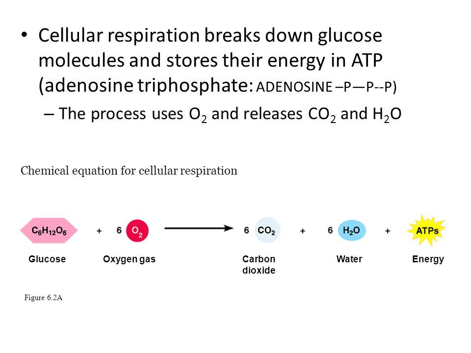 Cellular respiration breaks down energy worksheet answer key