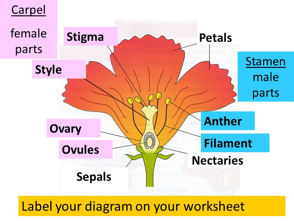 Flowering plant sex petals stigma anther filament ovary sepals 2 petals stigma anther filament ovary sepals ovules nectaries style label your diagram on your worksheet carpel female parts stamen male parts ccuart Images