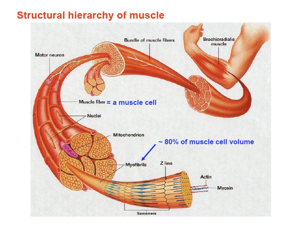 Muscle I Spring 2010 Harvard University Lecture Outline Functions