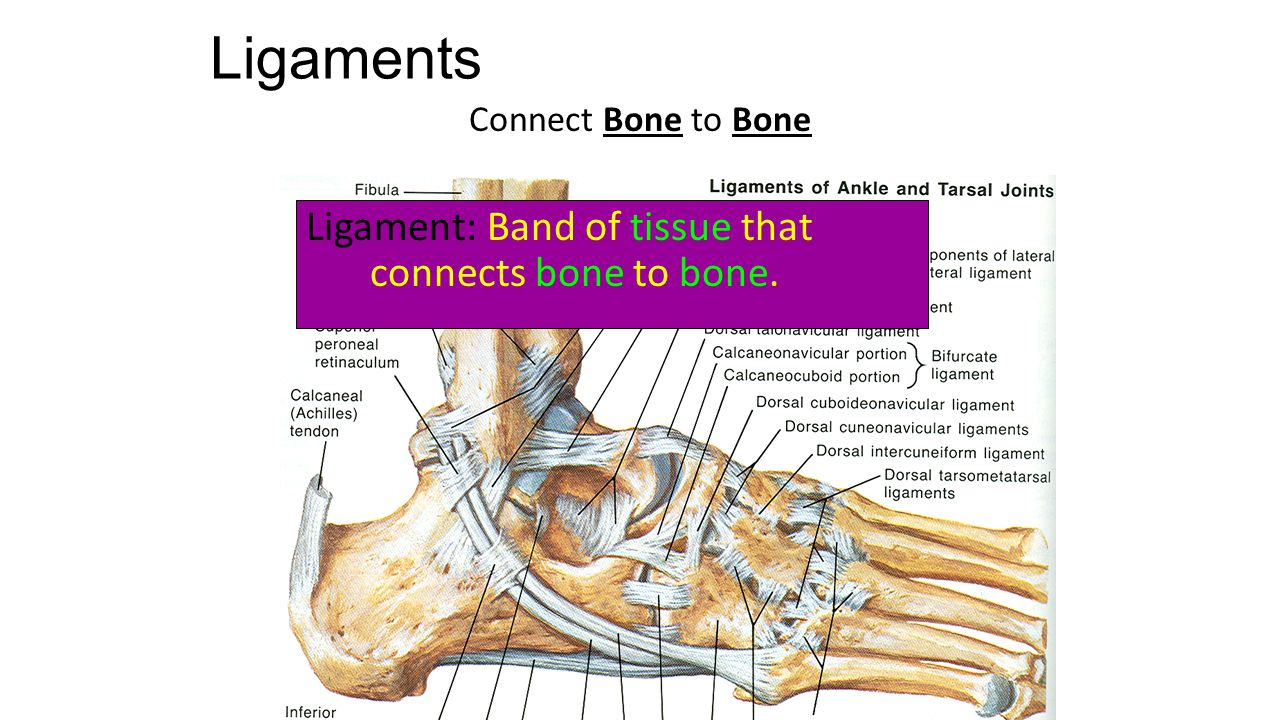 Ligaments Connect Bone to Bone Ligament: Band of tissue that connects bone to bone.