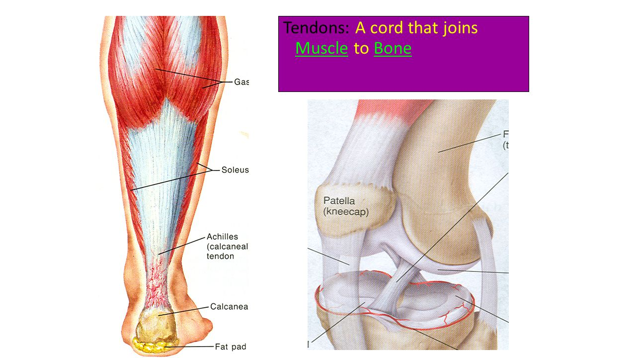 Tendons: A cord that joins Muscle to Bone