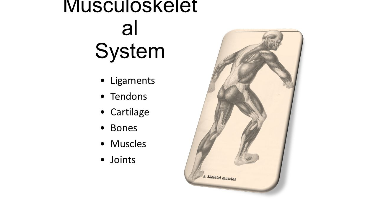 Musculoskelet al System Ligaments Tendons Cartilage Bones Muscles Joints