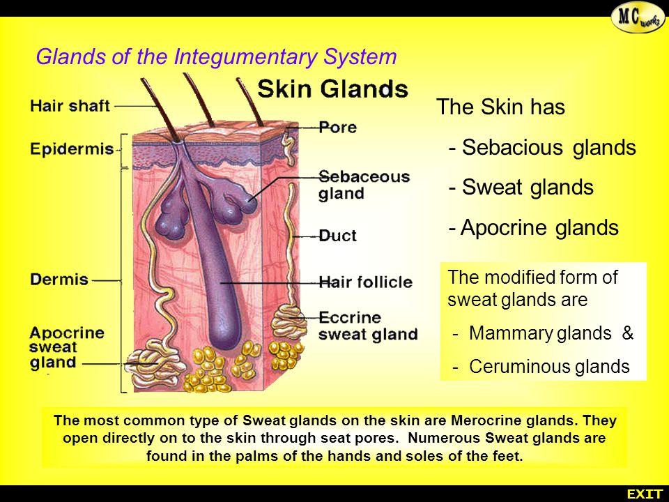 Amazing Human Anatomy Integumentary System Illustration - Anatomy ...