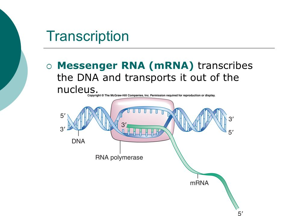 Transcription  Messenger RNA (mRNA) transcribes the DNA and transports it out of the nucleus.