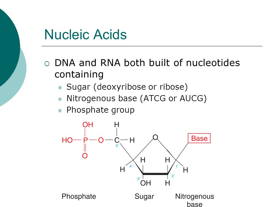 Nucleic Acids  DNA and RNA both built of nucleotides containing Sugar (deoxyribose or ribose) Nitrogenous base (ATCG or AUCG) Phosphate group