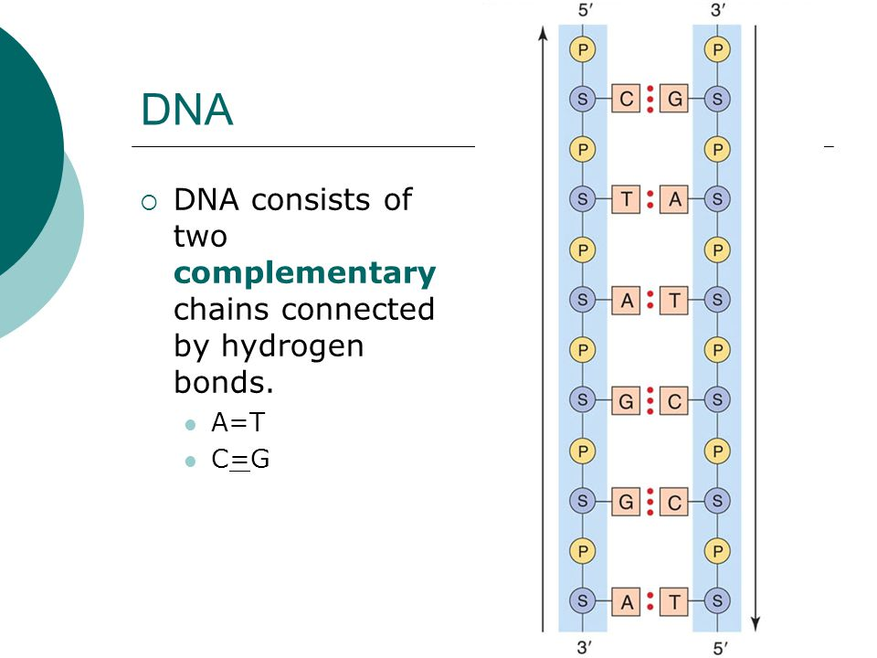 DNA  DNA consists of two complementary chains connected by hydrogen bonds. A=T C=G