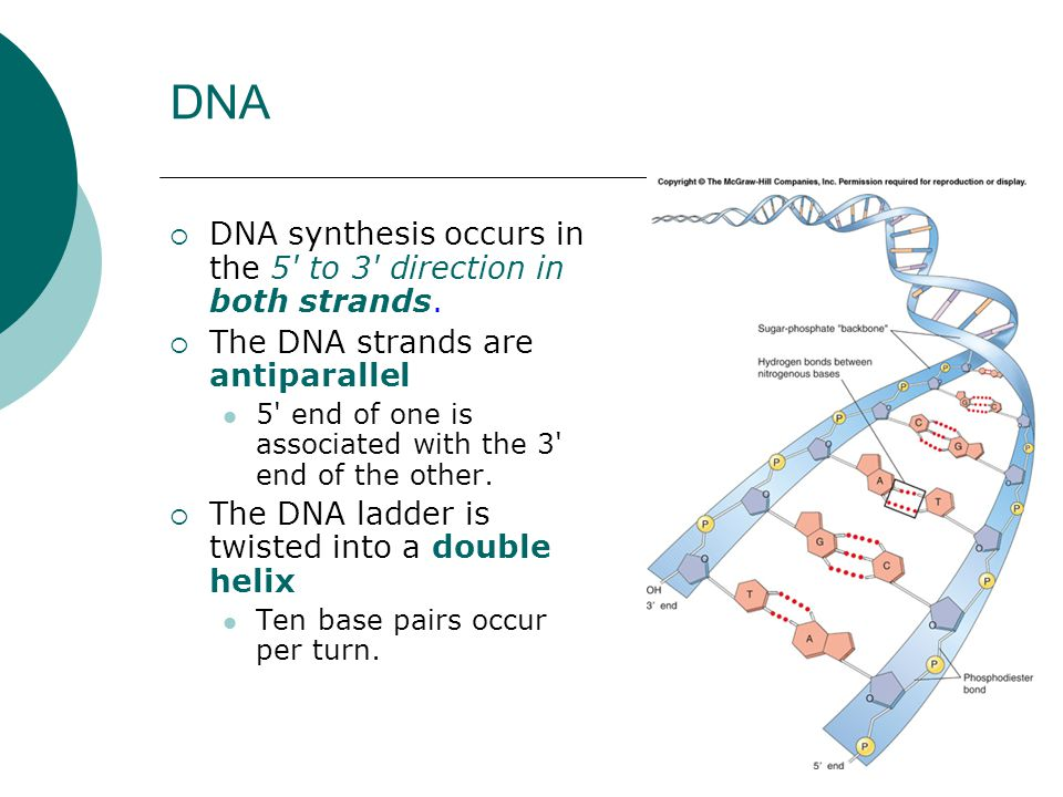 DNA  DNA synthesis occurs in the 5 to 3 direction in both strands.