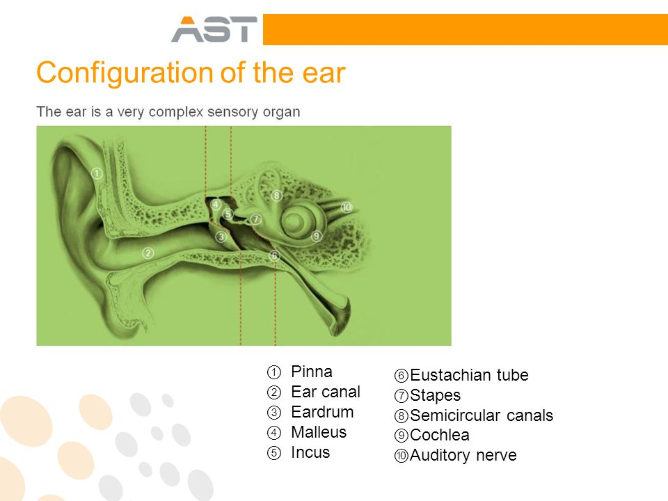 Configuration of the ear ① Pinna ② Ear canal ③ Eardrum ④ Malleus ⑤ Incus ⑥ Eustachian tube ⑦ Stapes ⑧ Semicircular canals ⑨ Cochlea ⑩ Auditory nerve