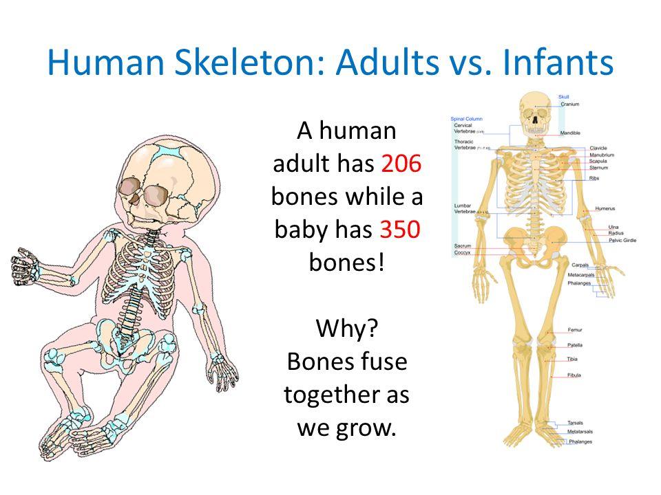 human skeleton: adults vs. infants a human adult has 206 bones, Skeleton