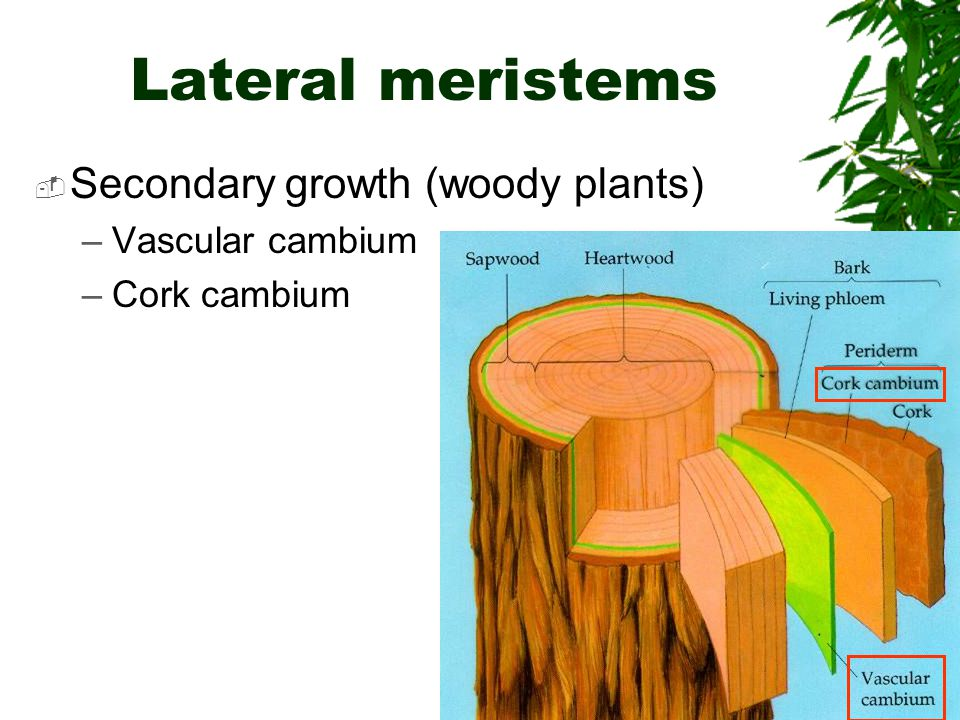 secondary meristems Gallery