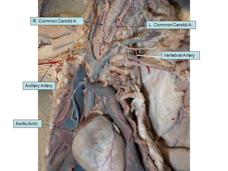 Aortic Arch R. Common Carotid A. L. Common Carotid A. Axillary Artery Vertebral Artery