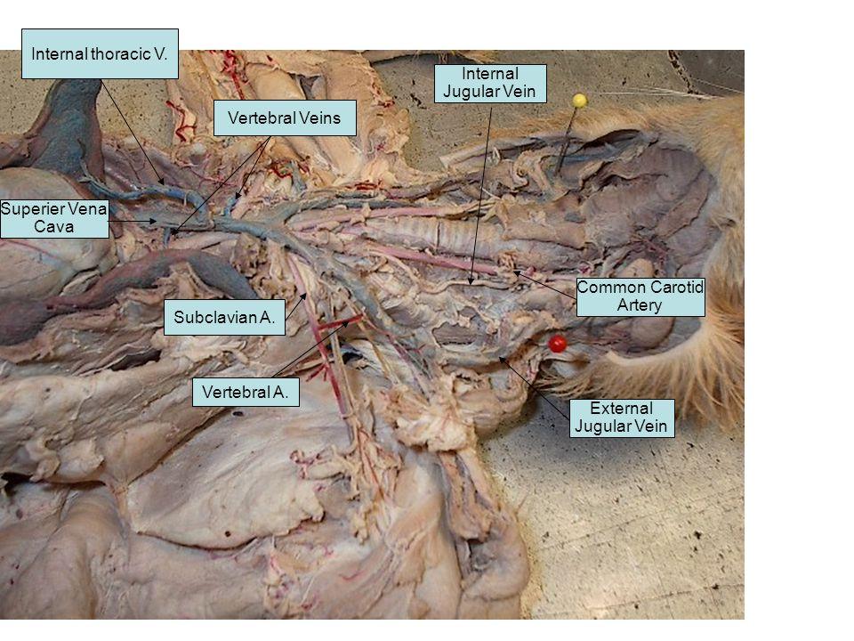 Superier Vena Cava Common Carotid Artery External Jugular Vein Internal Jugular Vein Subclavian A. Vertebral A. Internal thoracic V. Vertebral Veins