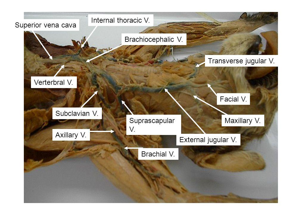 Transverse jugular V. Facial V. Maxillary V. External jugular V. Suprascapular V. Brachial V. Brachiocephalic V. Subclavian V. Axillary V. Verterbral