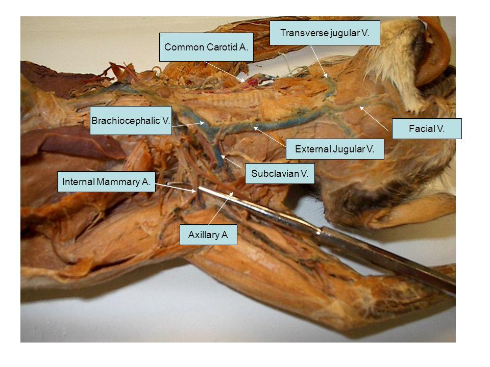 Brachiocephalic V. Transverse jugular V. Facial V. Common Carotid A. External Jugular V. Subclavian V. Internal Mammary A. Axillary A