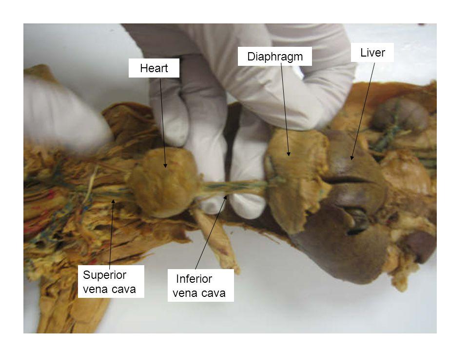 Inferior vena cava Superior vena cava Heart Diaphragm Liver