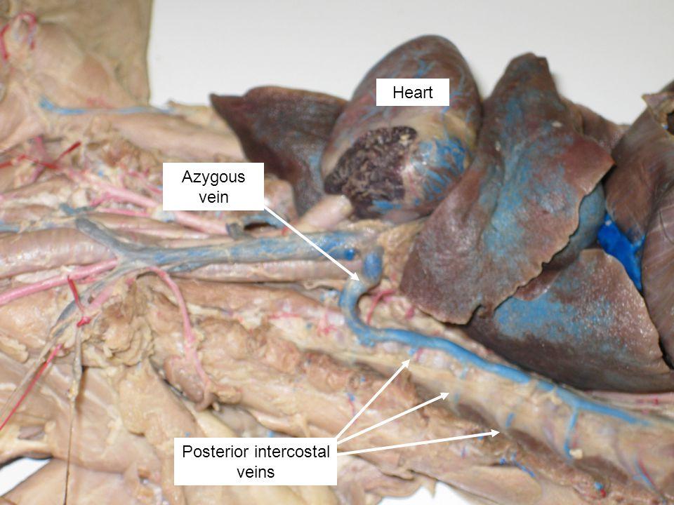 Heart Azygous vein Posterior intercostal veins