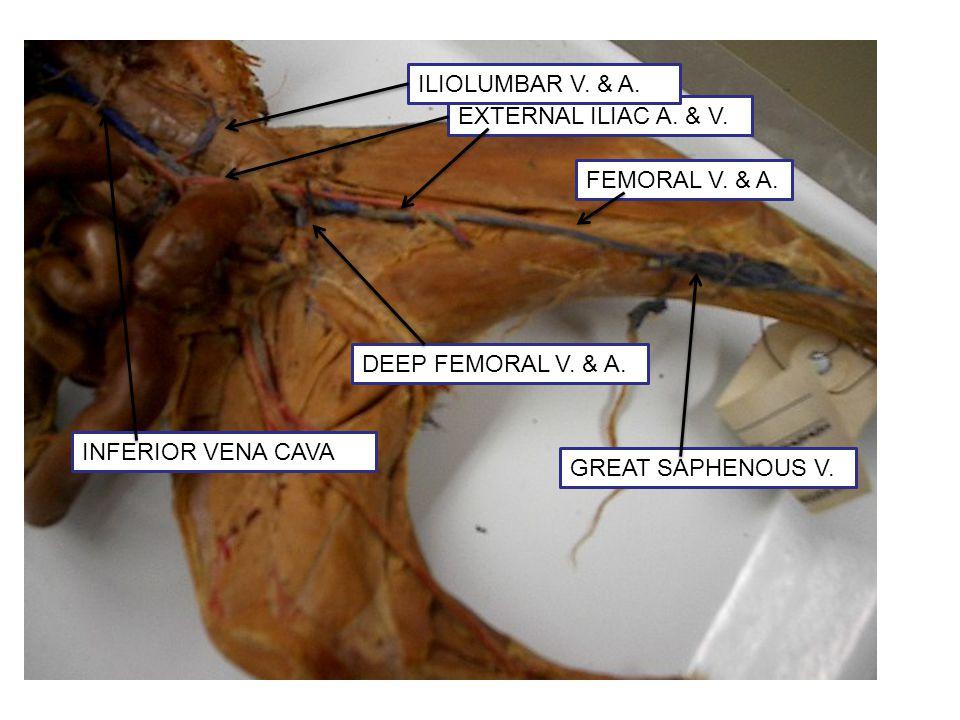 GREAT SAPHENOUS V. DEEP FEMORAL V. & A. EXTERNAL ILIAC A. & V. ILIOLUMBAR V. & A. INFERIOR VENA CAVA FEMORAL V. & A.