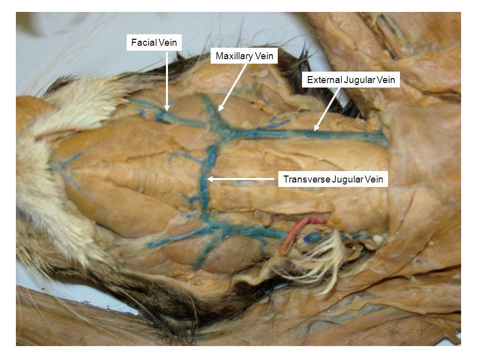Facial Vein Maxillary Vein Transverse Jugular Vein External Jugular Vein