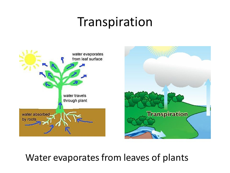Transpiration Water evaporates from leaves of plants