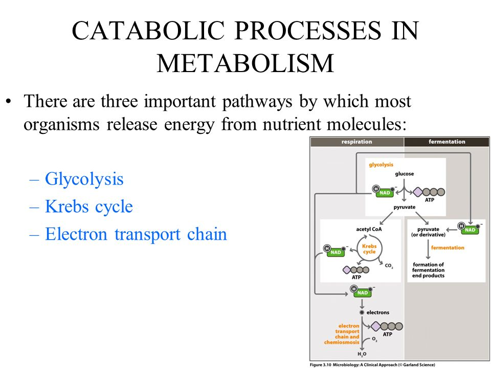 CATABOLIC PROCESSES IN METABOLISM There are three important pathways by which most organisms release energy from nutrient molecules: –Glycolysis –Krebs cycle –Electron transport chain