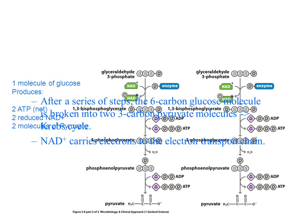 –After a series of steps, the 6-carbon glucose molecule is broken into two 3-carbon pyruvate molecules -> Krebs cycle.