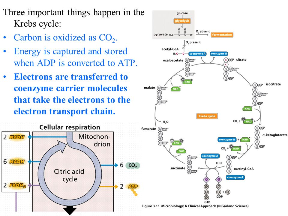 Three important things happen in the Krebs cycle: Carbon is oxidized as CO 2.