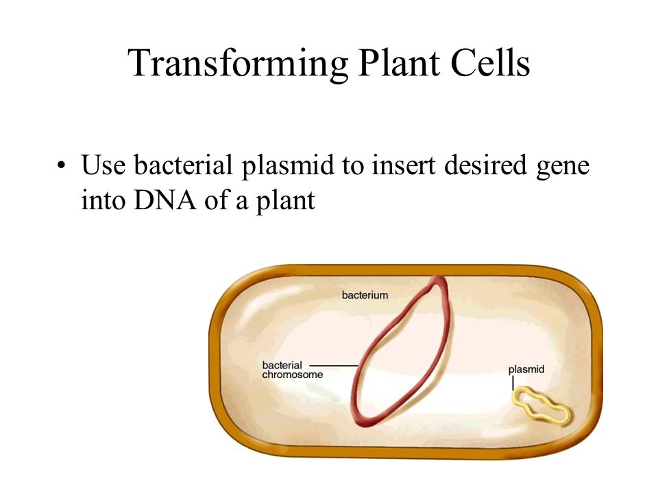 Transforming Plant Cells Use bacterial plasmid to insert desired gene into DNA of a plant