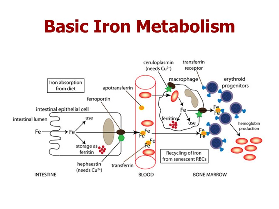 Regulation of systemic iron metabolism. Organs and cell types ...