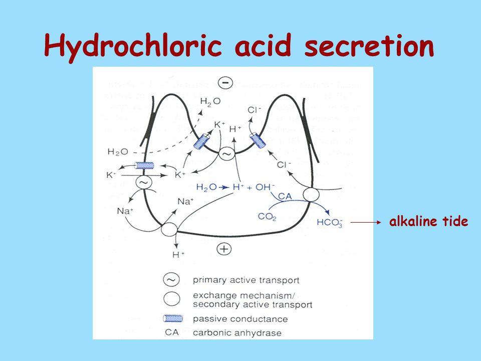 Hydrochloric acid secretion alkaline tide