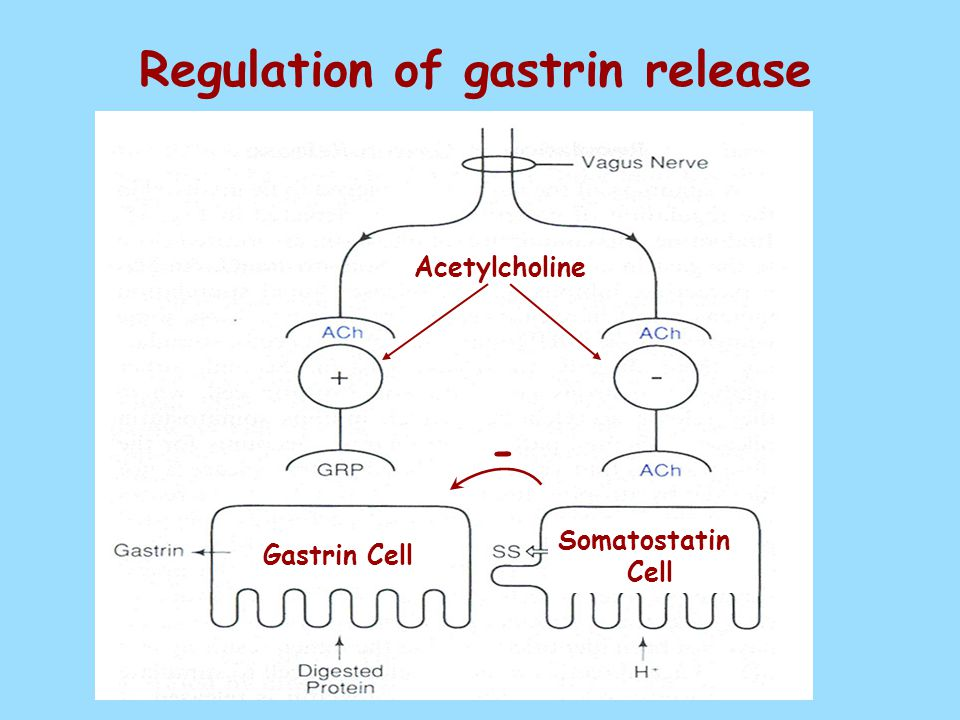 Regulation of gastrin release Gastrin Cell Somatostatin Cell Acetylcholine -