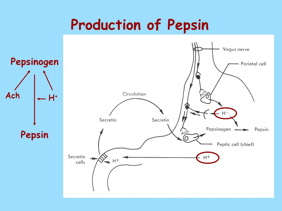 Production of Pepsin Ach H+ H+ Pepsinogen Pepsin