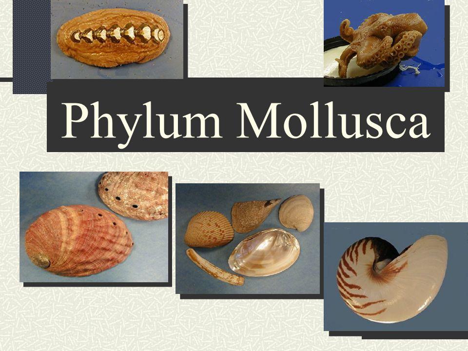 "Presentation ""Phylum Mollusca Ancestral Protist segmentation true ..."