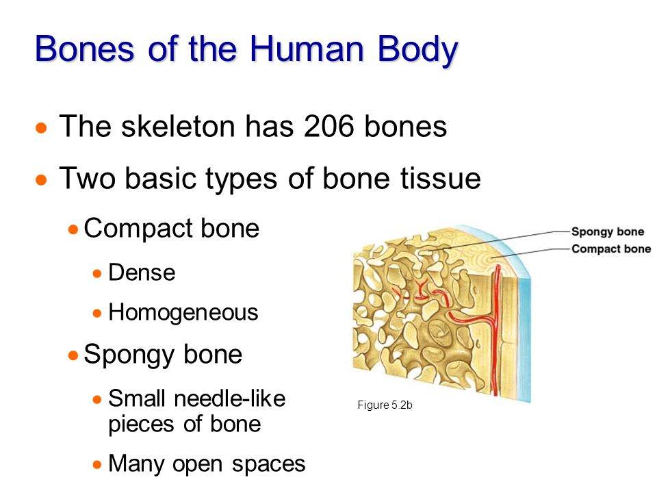 Describe all the joints of the human body and where is each bone located at?