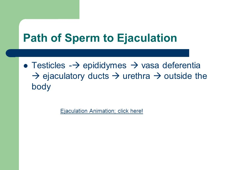 Path of Sperm to Ejaculation Testicles -  epididymes  vasa deferentia  ejaculatory ducts  urethra  outside the body Ejaculation Animation; click here!