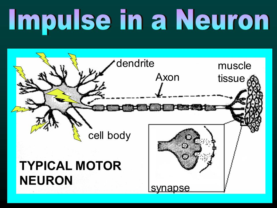 cell body muscle tissue TYPICAL MOTOR NEURON Axon dendrite synapse cell body