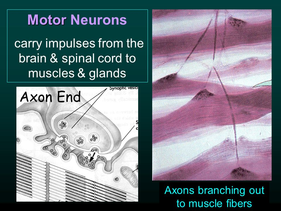 Motor Motor Neurons carry impulses from the brain & spinal cord to muscles & glands Axon End Axons branching out to muscle fibers