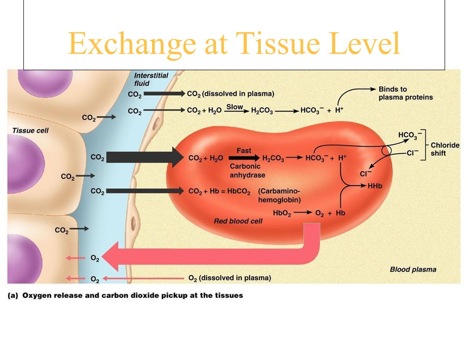 Exchange at Tissue Level