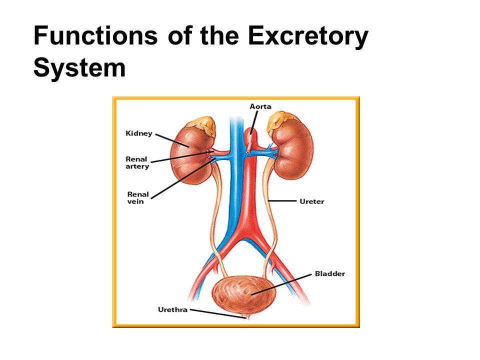 Excretory System By Trisha Choda Infographic