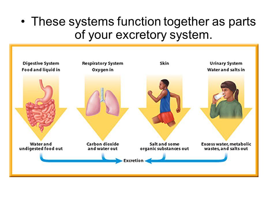 excretory system function | johny fit, Cephalic Vein