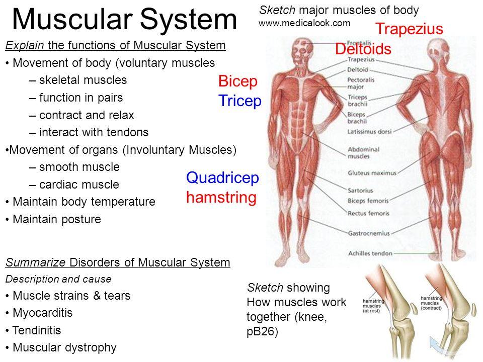 Skeletal System Functions Of Skeletal System Explain Functions