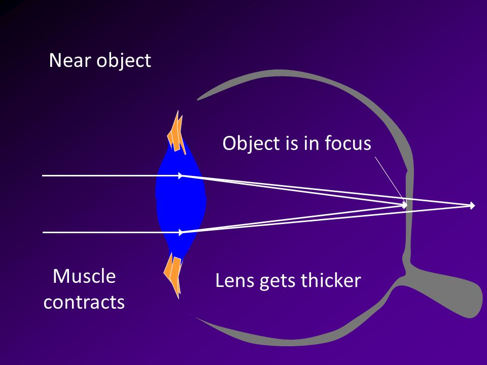 Muscle contracts Near object Lens gets thicker Object is in focus