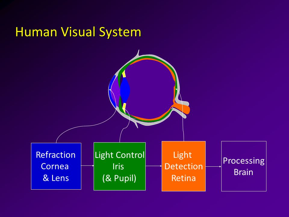 Human Visual System Refraction Cornea & Lens Light Control Iris (& Pupil) Light Detection Retina Processing Brain