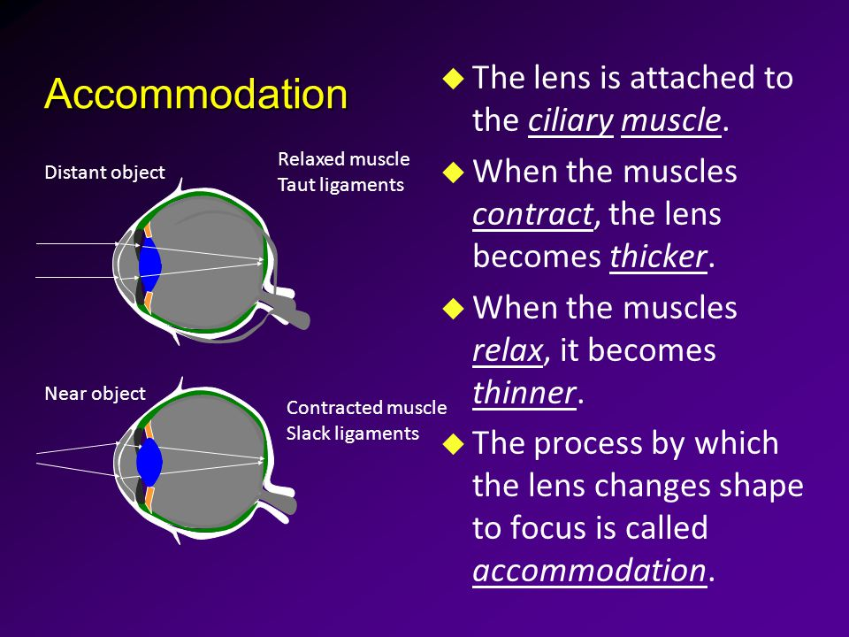 Accommodation u The lens is attached to the ciliary muscle.