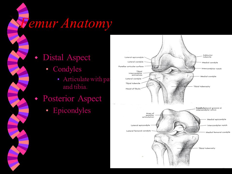 Femur And Tibia Articulation