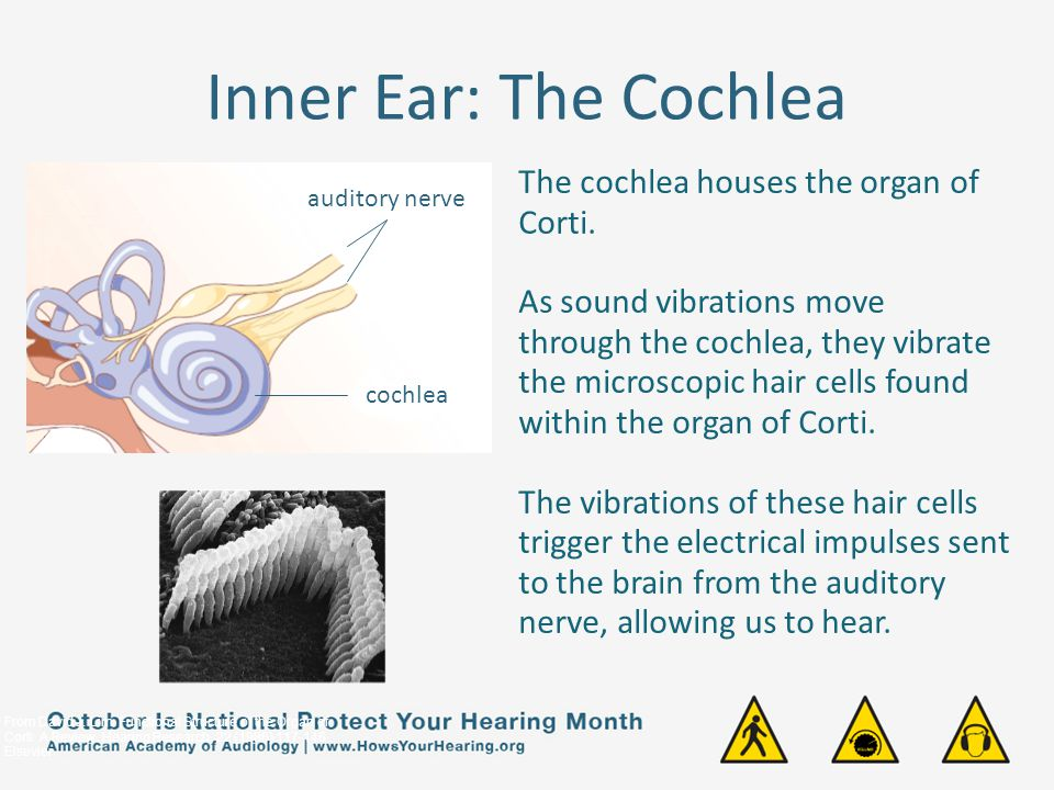 Inner Ear: The Cochlea The cochlea houses the organ of Corti.