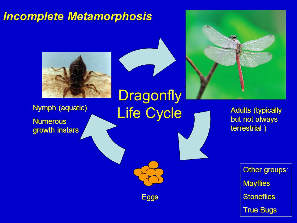 Eggs Dragonfly Life Cycle Nymph (aquatic) Numerous growth instars Incomplete Metamorphosis Adults (typically but not always terrestrial ) Other groups: Mayflies Stoneflies True Bugs