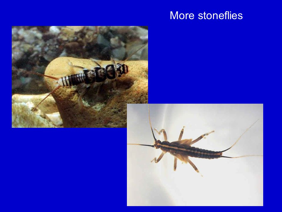 More stoneflies